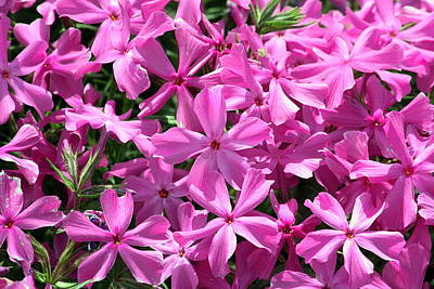Pink Creeping Phlox Poster by Sheila Brown