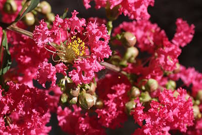 Poster featuring the photograph Pink Crepe Myrtle Flowers by Debi Dalio