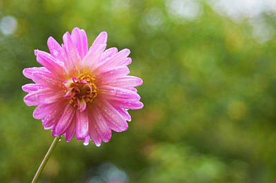 Pink Dahlia 1 Poster