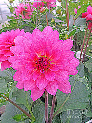 Pink Dahlia Poster by Kay Novy