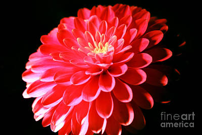 Pink Dahlia1 Poster