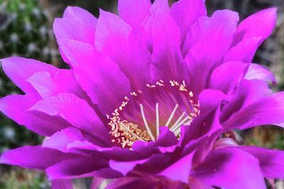 Poster featuring the photograph Pink Echinopsis Bloom  by Saija Lehtonen