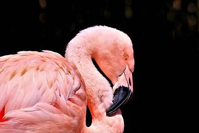 Pink Flamingo On Black Poster