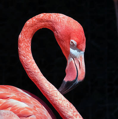 Poster featuring the photograph Pink Flamingo by Robert Bellomy