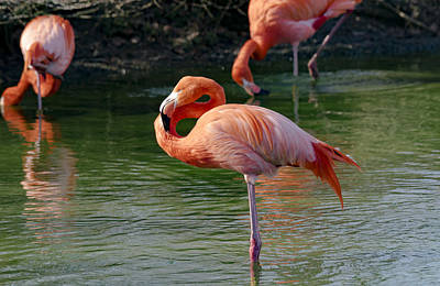 Poster featuring the photograph Pink Flamingo by Scott Carruthers