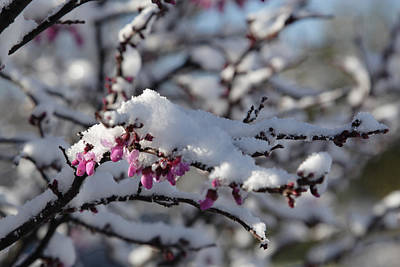 Pink Flower With Snow Poster