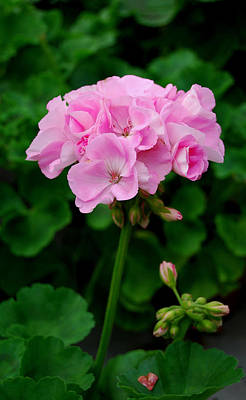 Pink Geranium Poster by Marilynne Bull