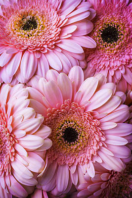 Pink Gerbera Daisy Bunch Poster by Garry Gay