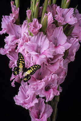 Pink Glads And Butterfly Poster by Garry Gay