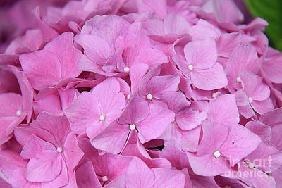 Pink Hydrangea Poster