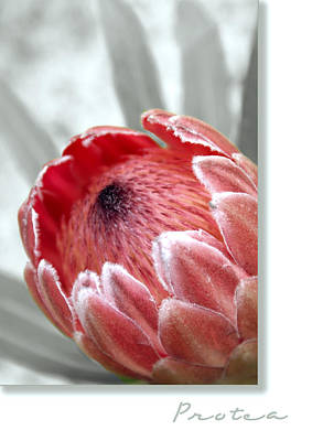 Pink Ice Protea Poster by Holly Kempe
