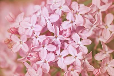 Pink Lilac Poster by Cindy Grundsten