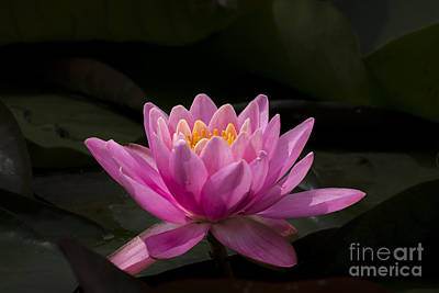 Poster featuring the photograph Pink Lotus by Andrea Silies
