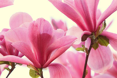 Pink Magnolias Poster by Peggy Collins