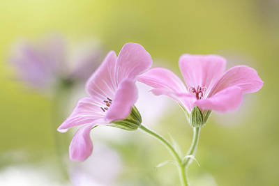 Pink Melody Poster by Mandy Disher