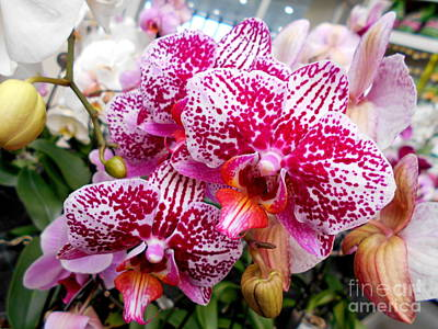 Pink Moth Orchids Poster