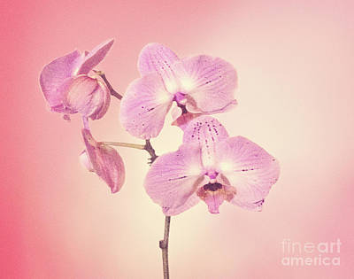 Poster featuring the photograph Pink Orchids 2 by Linda Phelps