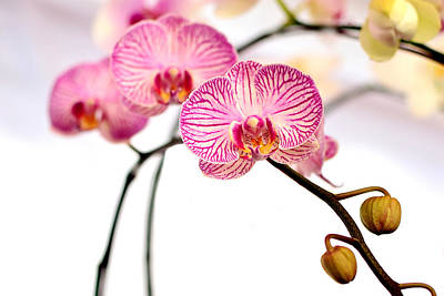 Pink Orchids Poster by Grace Thang