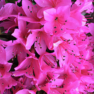 Poster featuring the photograph Pink Passion In The Rain by Sherry Hallemeier