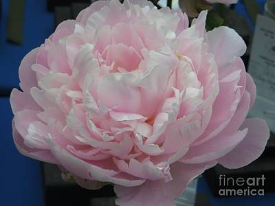 Pink Peony Poster
