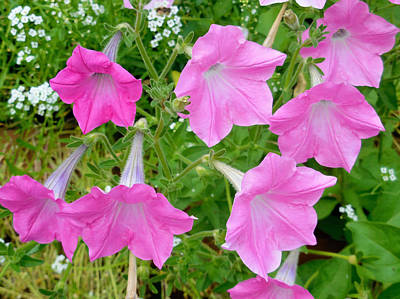 Pink Petunia Flower 9 Poster by Lanjee Chee