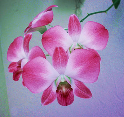 Pink Phalenopsis Poster by Charles Yates