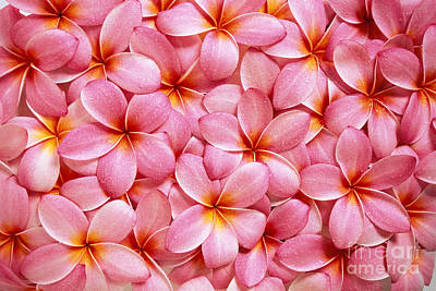 Pink Plumeria Poster by Kyle Rothenborg - Printscapes