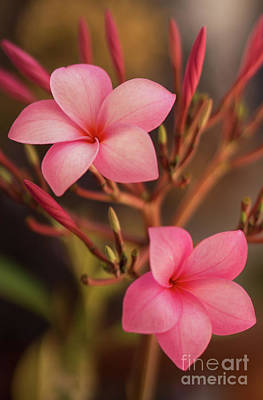 Pink Plumeria Rubra Poster by Aged Pixel