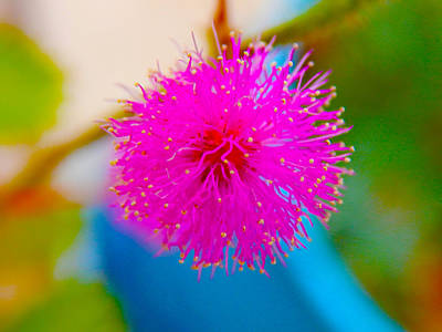 Pink Puff Flower Poster