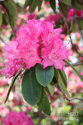 Pink Rhododendron Cluster Poster by Carol Groenen
