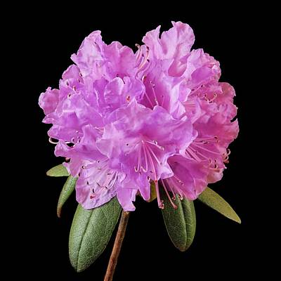 Pink Rhododendron  Poster by Jim Hughes