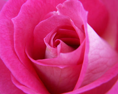 Pink Rose Poster by Amy Fose