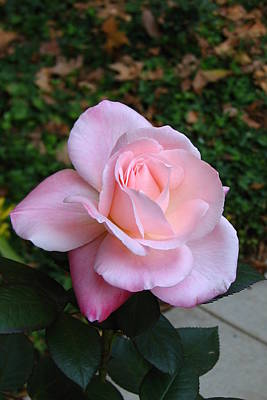 Poster featuring the photograph Pink Rose by Carla Parris