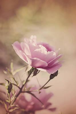 Pink Rose Poster by Cindy Grundsten