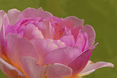 Poster featuring the photograph Pink Rose #d3 by Leif Sohlman