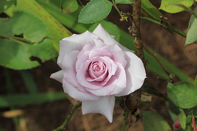 Poster featuring the photograph Pink Rose by Jerry Battle