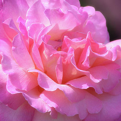 Poster featuring the photograph Pink Rose Ruffles by Julie Palencia