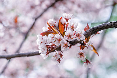 Poster featuring the photograph Pink Sakura Cherry Blossom by Alexander Senin