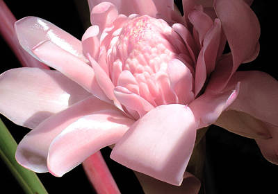 Pink Torch Ginger Poster