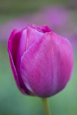 Pink Tulip Flower Poster by Frank Tschakert