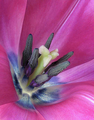 Poster featuring the photograph Pink Tulip Stamens by David and Carol Kelly