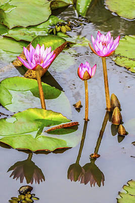 Pink Water Lilies In A Pond Poster