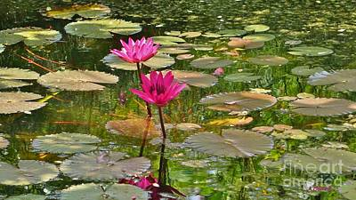 Pink Water Lilies Poster by John Clark