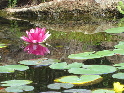 Pink Waterlilly  Poster