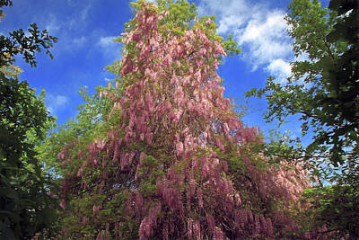 Poster featuring the photograph Pink Wisteria by Donna Kennedy