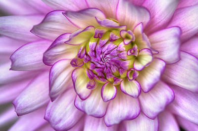 Pink Zinnia Close Up Poster by Mark Kiver