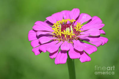 Pink Zinnia  Poster by Ruth Housley