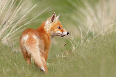 Pinocchio - The Long Nosed Fox Kit Poster by Roeselien Raimond