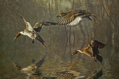 Pintail Ducks Poster by Brian Tarr