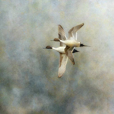 Poster featuring the photograph Pintail Duo by Angie Vogel